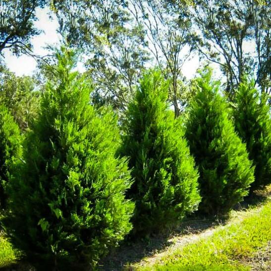 leyland-cypress-one-547x547