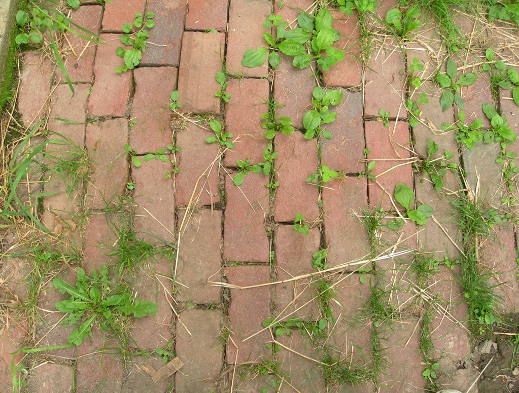 patio weeds in between patio bricks