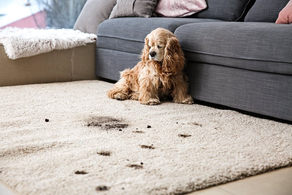 Carpet Cleaning Tips Pet Owners