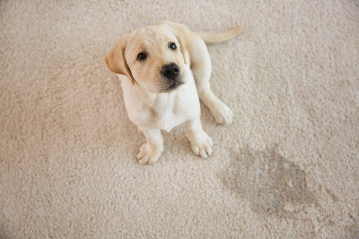 Carpet Cleaning Tips For Pet Owners You Need To Know