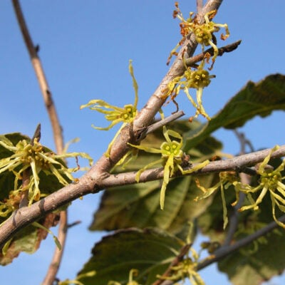 10 Witch Hazel Uses and Benefits You Need To Know Featured