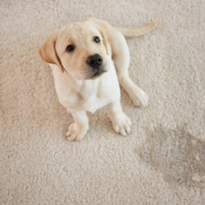 Carpet Cleaning Tips For Pet Owners You Need To Know FEATURED