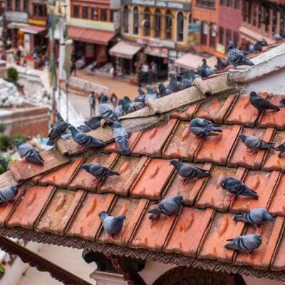 pigeons-sitting-brown-tiled-roof-building-near-boudhanath-stupa-kathmandu-nepal